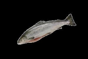 форель свежемороженая купить оптом, форель рыба