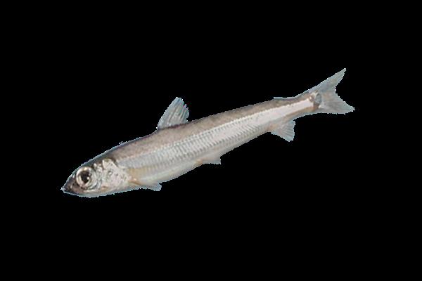 аргентина свежемороженая купить оптом, аргентина рыба