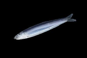 хамса свежемороженая купить оптом, рыба хамса