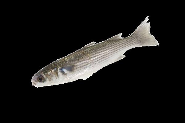 Кефаль свежемороженая купить оптом, рыба кефаль
