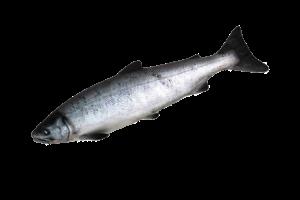 кета свежемороженая купить оптом, кета рыба