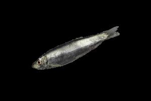 килька свежемороженая купить оптом, рыба килька