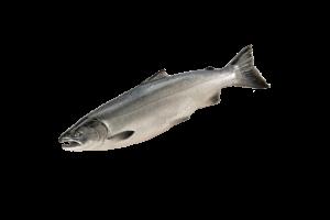 кижуч свежемороженый купить оптом, рыба кижуч
