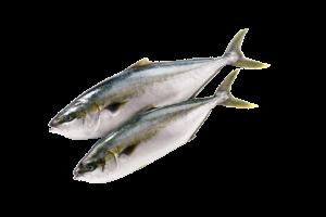 желтохвост свежемороженый купить оптом, рыба желтохвост, лакедра