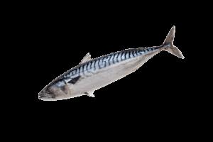 Макрель свежемороженая купить оптом, рыба макрель