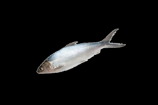 молочная рыба свежемороженая купить оптом, рыба молочная