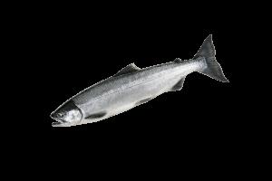 Нерка свежемороженая купить оптом, рыба нерка
