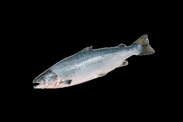 семга свежемороженая купить оптом, рыба семга