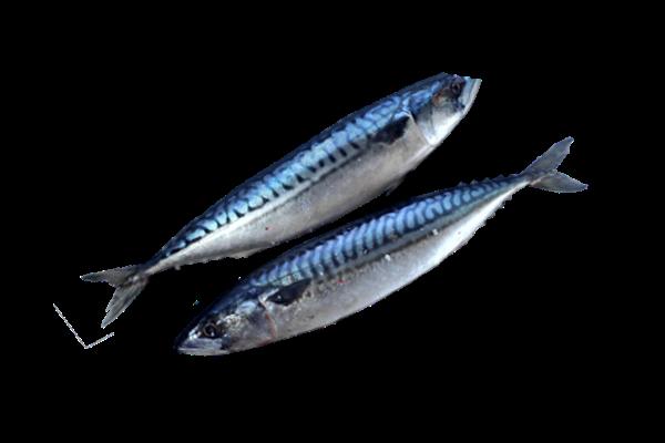 соленая скумбрия купить оптом, скумбрия соленая, рыба скумбрия