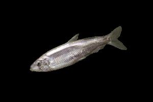 тюлька свежемороженая купить оптом, рыба тюлька